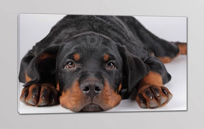 quadro moderno cane dolce amico fedele